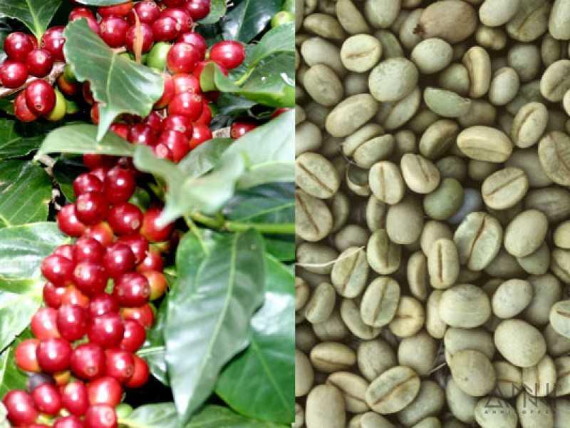 Cà phê Arabica hạt chưa rang